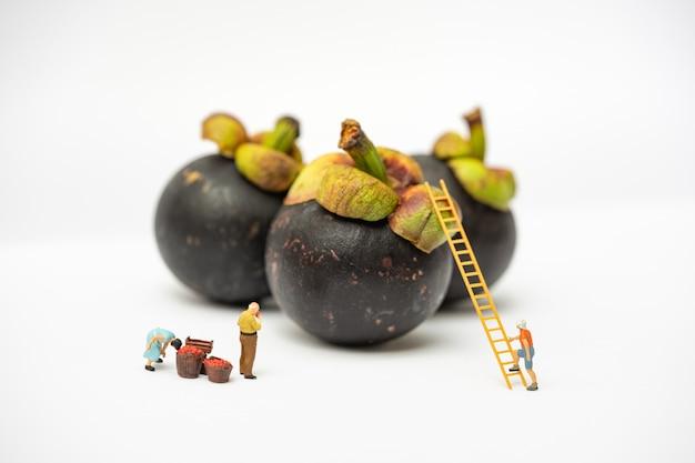 Miniaturleute, landwirt, der auf der leiter für das sammeln der mangostanfrucht von der großen mangostanfrucht lokalisiert auf weißem hintergrund klettert.