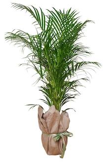 Minimale tropische blätter zimmerpflanze wohnkultur. kentia oder areca dekorative handfläche gegen weiße wand. isolierte pflanze der palme im topf lokalisiert auf weißer oberfläche. hausgartenarbeit, liebe zu zimmerpflanzen