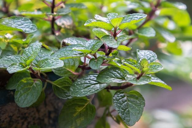 Minzblätter pflanze wachsen im bio-gemüsegarten