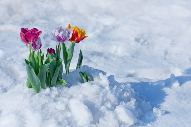 Mischfarbige tulpen unter frühlingsschnee im april