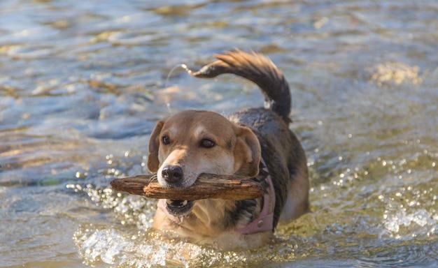 Mischlingshund, der glücklich im strom mit stock in seinem mund schwimmt