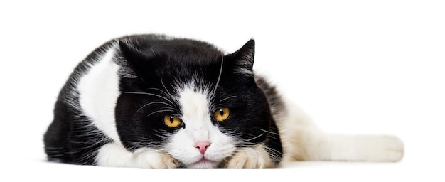 Mischlingskatzenporträt isoliert