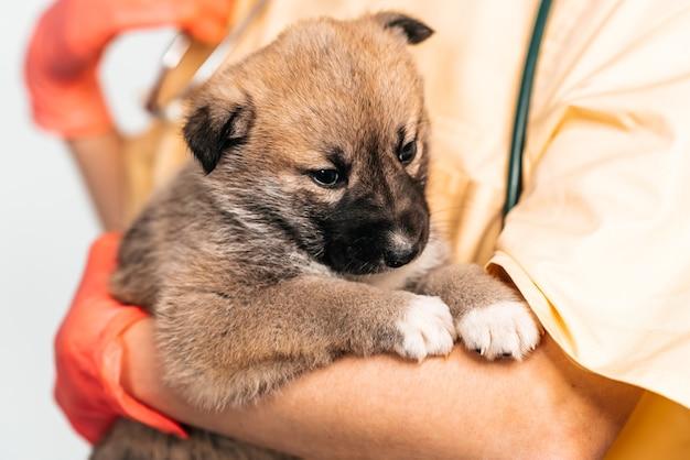 Mischlingswelpen beim tierarzt in der tierklinik. untersuchung eines haustieres, eines lustigen kleinen hundes in den armen einer ärztin