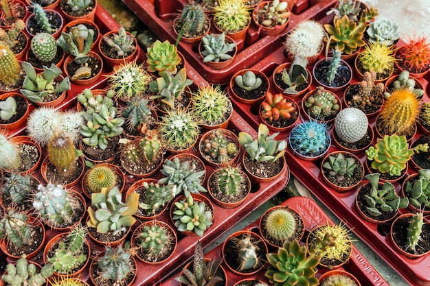 Mischung aus verschiedenen kaktuspflanzentabletts zum verkauf in einem gartengeschäft während des frühlings