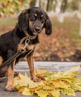 Mischzuchtdachshundhund, der in einem herbstpark mit einem stapel von blättern sitzt
