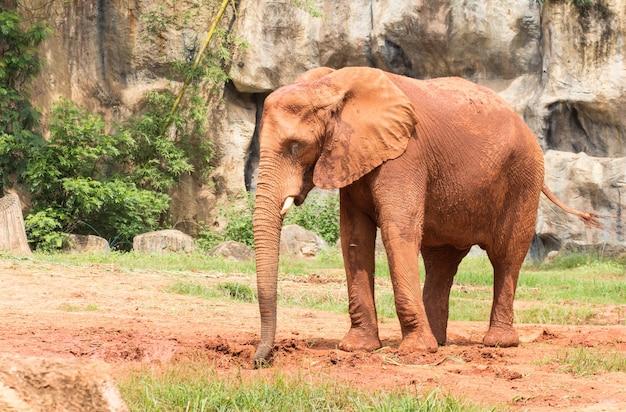 Mit afrikanischen elefanten beschichteter körper mit rotem schlamm, um körper und haut vor sonnenlicht zu schützen.