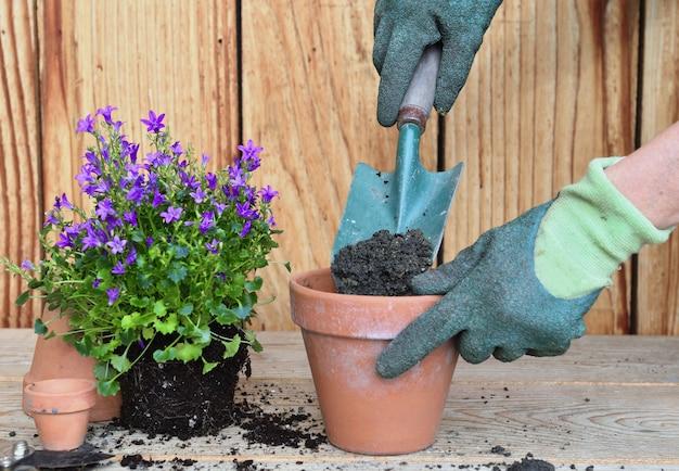Mit handschuhen versehene hände einer frau, die eine schaufel voller schmutz und pflanzen mit ihrer scholle zum eintopfen hält