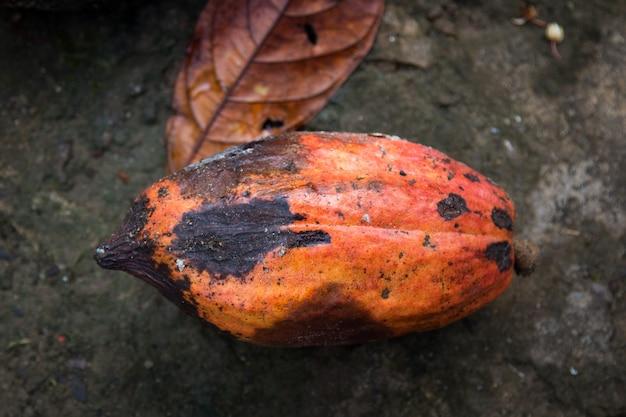 Mit pilzkrankheiten infizierte kakaofruchtschote.