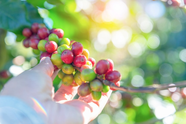 Mit rohen kaffeebohnen verzweigen