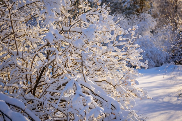 Mit schnee bedeckte äste im sonnenlicht