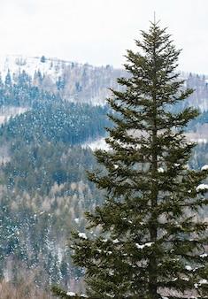 Mit schnee bedeckte fichte im ferienort abetone in italien.