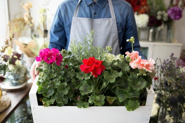 Mittelteil eines männlichen floristen, der hortensiebüsche in der hölzernen kiste hält
