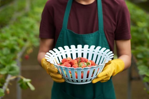Mittlerer abschnitt des unerkennbaren landwirts eine schüssel erdbeeren halten