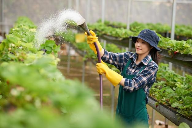 Mittlerer schuss von bewässerungserdbeeren der jungen frau in einem handelsgewächshaus