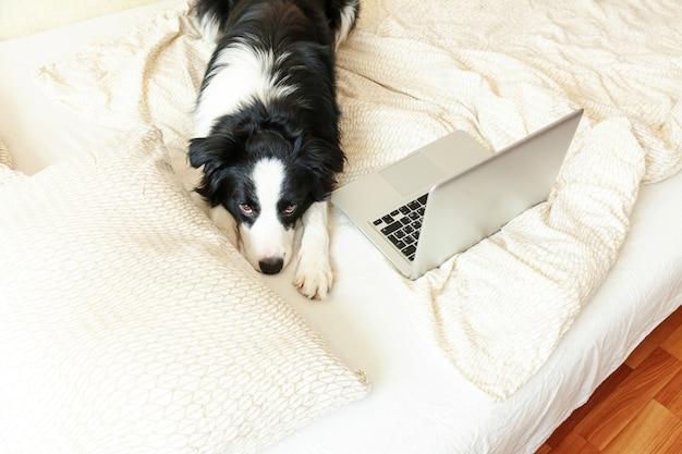 Mobiles büro zu hause. lustiges porträt niedlichen welpenhunde-grenzcollie auf dem bett, das das surfen im internet mit laptop-pc-computer zu hause arbeitet. freiberufliches quarantänekonzept für das haustierleben.