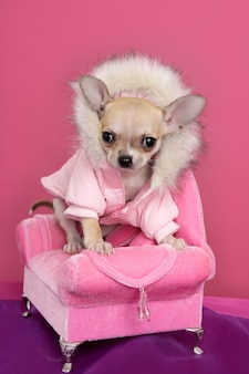 Mode chihuahua hund barbie stil rosa sessel