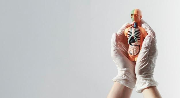 Modell des menschlichen körpers mit organen im inneren über weißem banner mit kopienraum