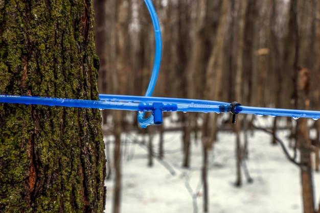 Moderne ahornsirup-sammlung mit blauen röhren in einem wald in quebec.