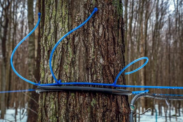 Moderner plastikhahn, der an einem ahornbaum befestigt ist, um saft zu sammeln. kanada.