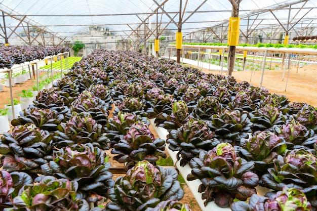 Modernes gewächshaus für den anbau von salaten mit bewässerungssystem. industrieller maßstab für den anbau von pflanzen.