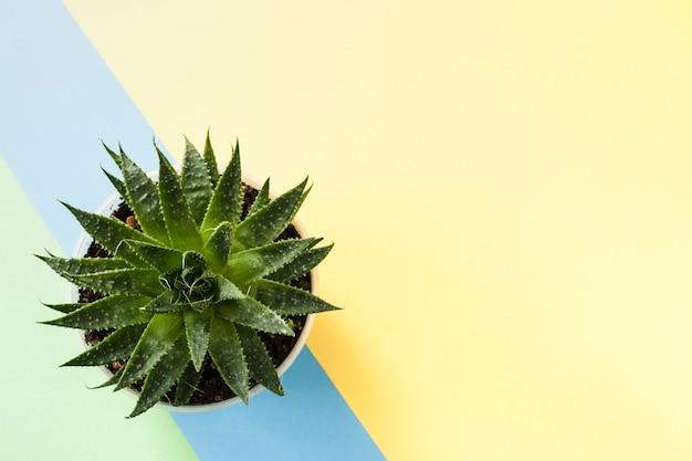 Modischer gelber hintergrund mit grüner saftiger anlage auf blauem schrägstreifen. ansicht von oben.