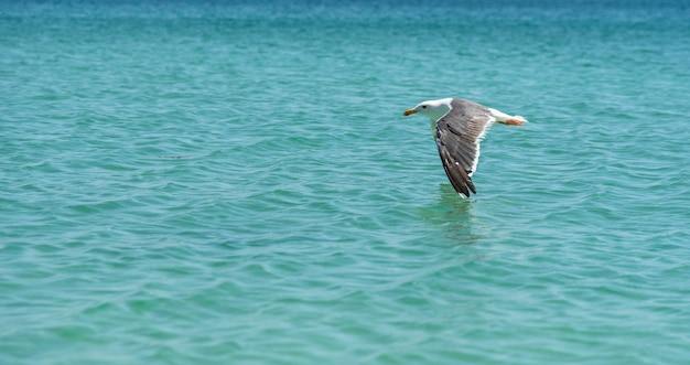 Möwe, die einen perfekten flug durchführt und mit ihrem flügel den ozean mit wunderschönem türkisblau berührt