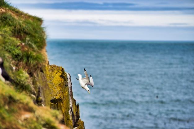 Möwe fällt in schnecke von einer klippe, um fische zu jagen. meeresboden und horizont. nordisland