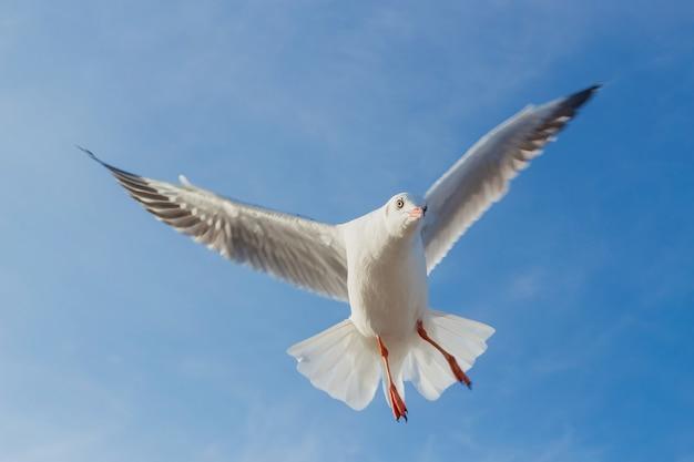 Möwe fliegt in den blauen himmel es ist ein seevogel, der normalerweise grau und weiß ist er braucht lebendfutter