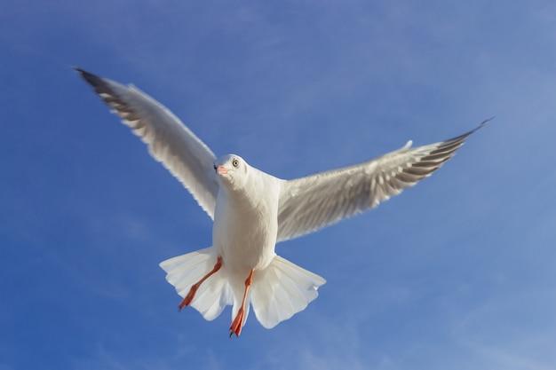Möwe fliegt in den blauen himmel es ist ein seevogel, der normalerweise grau und weiß ist er nimmt lebendfutter