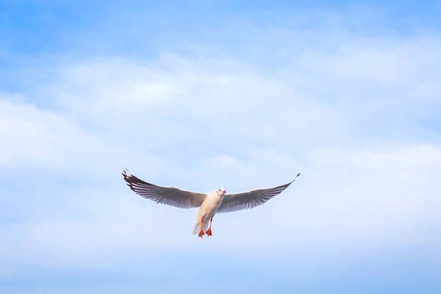 Möwe fliegt in den blauen himmel. es ist ein seevogel, normalerweise grau und weiß. es braucht lebendfutter (krabben und kleine fische).