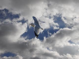 Möwe im freien flug, flug