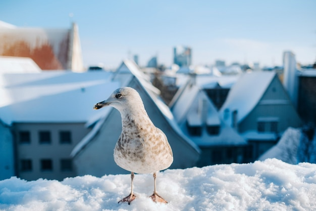 Möwe mit winter tallinn im hintergrund, estland
