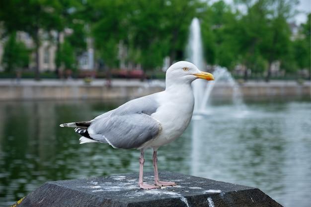 Möwe sitzt in der nähe des hofvijver sees mit springbrunnen die hague die niederlande