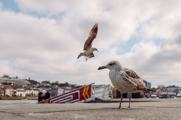 Möwen gehen auf der promenade von porto spazieren. möwe nahaufnahme schuss