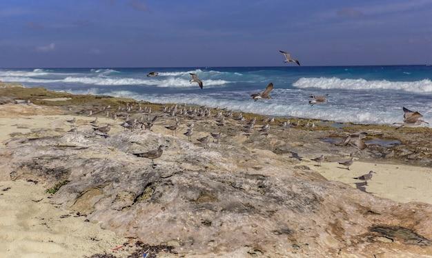 Möwenschwarm thront auf den felsen des strandes isla mujeres in mexiko
