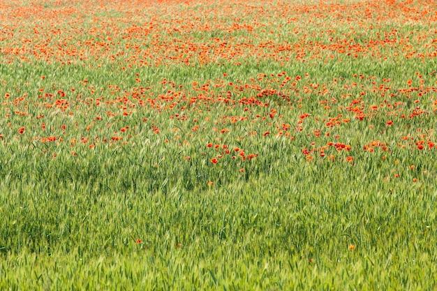 Mohn auf dem feld - eine blühende rote mohnblume, die auf dem landwirtschaftlichen feld wächst, wo sie weizen anbaut