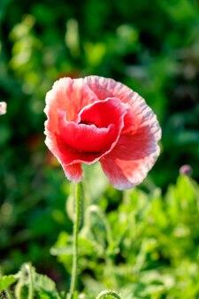 Mohnblume einzelnes rotes weißes sonnenlicht, das grünen hintergrund glänzt