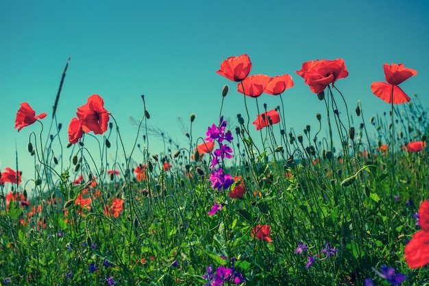 Mohnblumen gegen den himmel