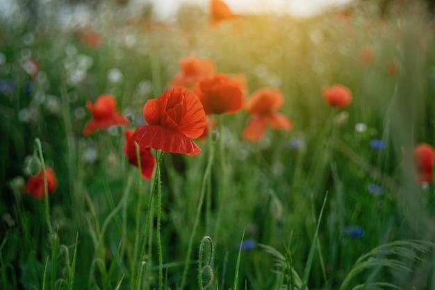 Mohnblumenblumenfeld-naturfrühling. gedächtnissymbol der blühenden mohnblumen. waffenstillstand oder gedenktag