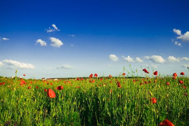 Mohnfeld über blauem himmel mit sonnenschein