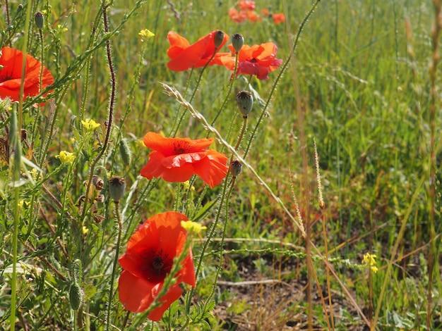 Mohnwiese im licht der untergehenden sonne, mohn und kornblume.