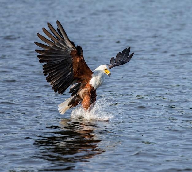 Moment des angriffs des afrikanischen fischadlers auf die fische im wasser. ostafrika. uganda.