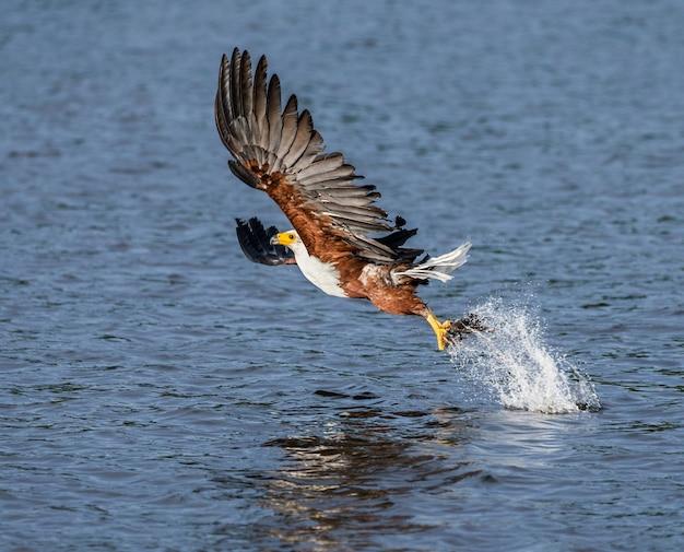 Moment des angriffs des afrikanischen fischadlers auf die fische im wasser.