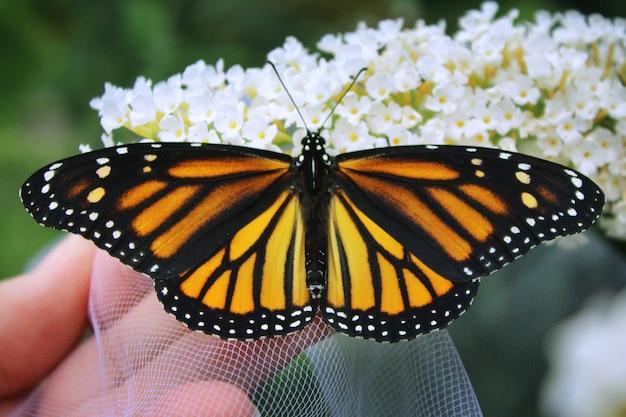 Monarch auf weißen blumen