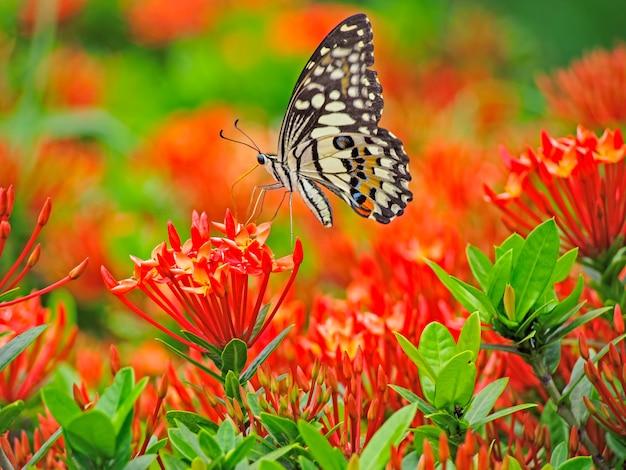 Monarchfalter auf einer spitzenblume