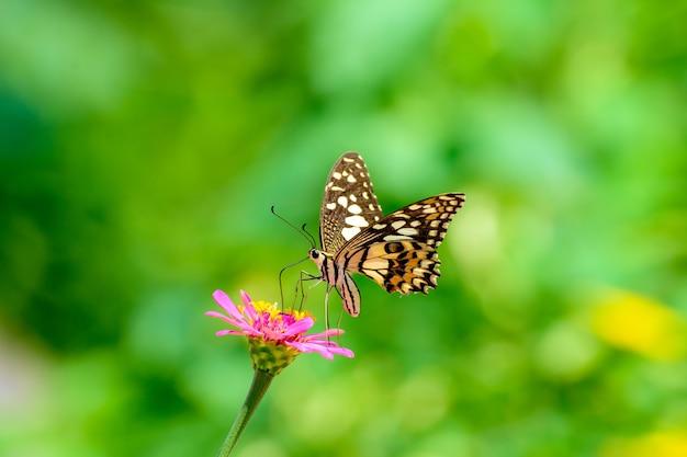 Monarchfalter bestäubt blumen im weichen hintergrund des sommertages