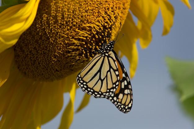 Monarchfalter, der an einem großen sonnenblumenkopf hängt