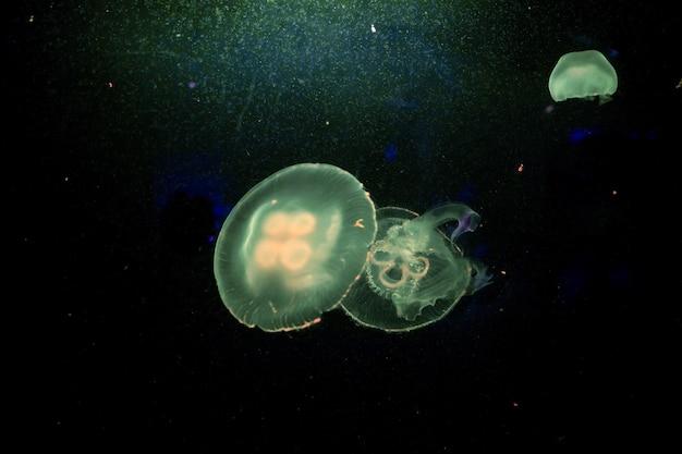Mondquallen im aquarium