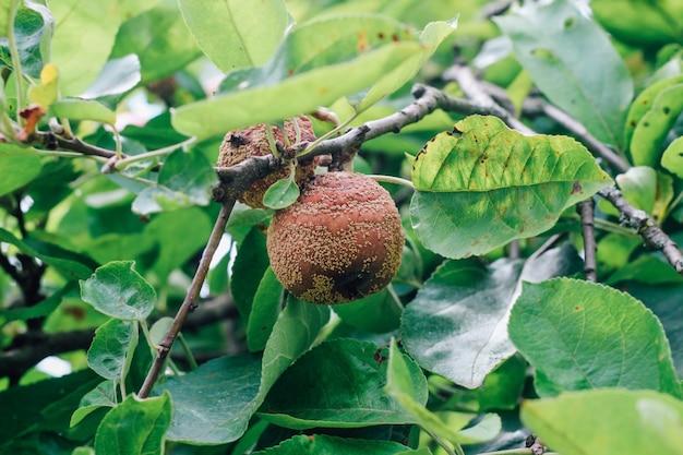 Monilinia fructigena, kranker apfel mit offensichtlichen anzeichen einer wachsenden läsion