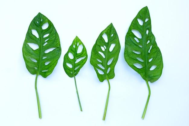 Monstera adansonii blätter oder schweizer käserebenhauspflanze auf weißer oberfläche.